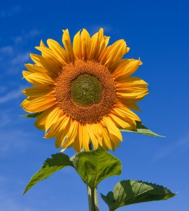 Sunflower_sky_backdrop